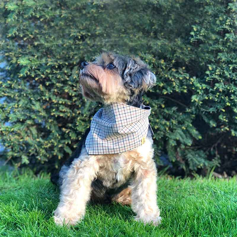 Dog, bandana, dog bandana, honden bandana, accessoires voor honden, diy petwear, granny j, granny j petwear, granny j next, j-sketch, grolloo, hond, dog accessoires, vrolijke hondenbandana, vrolijke honden accessoires, handmade dogwear, handmade, homemade, diy bandana, mooie hondenbandana, Picture dog, dog posing, poserende hond, adopt dont shop, adopt don't shop, best friend, beste vriend, geadopteerde hond, hondmodel, hondenmodel, fotomodel hond, terrier, kleine hondjes, kleine hond, fotosessie hond, fotoshoot hond, fotosessie kleine hondjes, fotosessie kleine honden