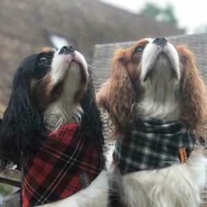 Dog, bandana, dog bandana, honden bandana, accessoires voor honden, diy petwear, granny j, granny j petwear, granny j next, j-sketch, grolloo, hond, dog accessoires, vrolijke hondenbandana, vrolijke honden accessoires, handmade dogwear, handmade, homemade, diy bandana, mooie hondenbandana, Picture dog, dog posing, poserende hond, adopt dont shop, adopt don't shop, best friend, beste vriend, geadopteerde hond, hondmodel, hondenmodel, fotomodel hond, terrier, kleine hondjes, kleine hond, fotosessie hond, fotoshoot hond, fotosessie kleine hondjes, fotosessie kleine honden, cavaliers, cavalier-king-charles, cavalier KC terrier, cavalier King Charles terrier, King Charles, Cutest dog ever, Brothers,